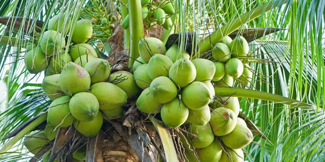 tengatuel-kelapa-terbaik-dunia-asal-sulut-yang-terancam-punah